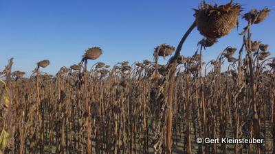 Sonnenblumenfeld hinter Roda