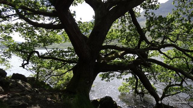 imposante Bäume drohen in den See zu stürzen