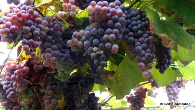 der Weg durch die Weinlauben